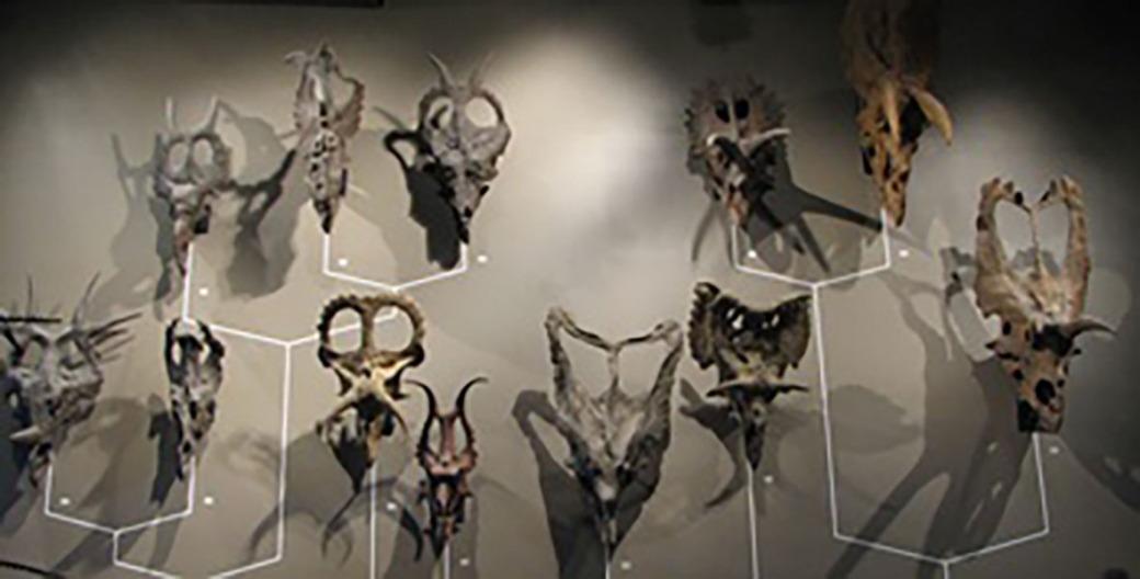 ceratopsian-skulls-nhmu